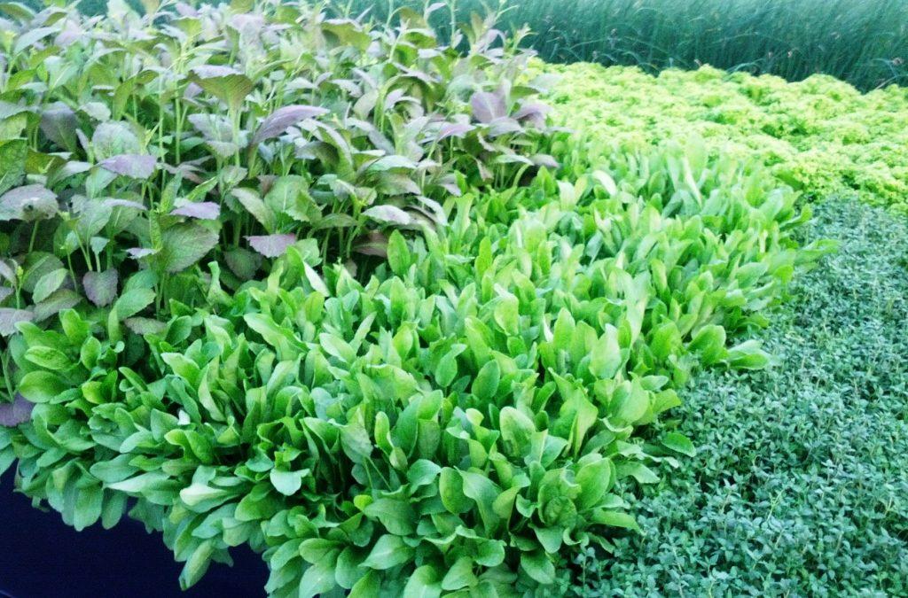 Pre-cut Salads are x2400 More Prone to Salmonella Contamination